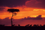 An amazing African safari sunset
